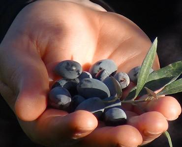http://manolicanoli.net/wp-content/uploads/2015/07/Manoli-Canoli-Olive-Oil-Origin-370x300.jpg